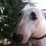 Abigail - English Bull Terrier