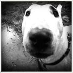 Abigail - English Bull Terrier