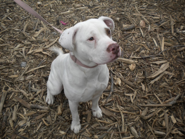 Best American Bulldog Pitbull Mix Breed – yasminroohi