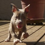 Ares - Pit Bull