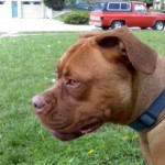 Dogue de Bordeaux Mix - Jolene