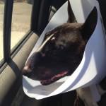 Bull Terrier - Ted