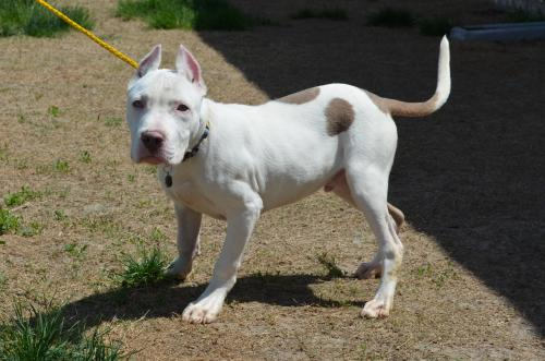 Pit Bull/Dogo mix - Casper | Mid-America Bully Breed Rescue