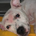 Pit Mix - Lucy