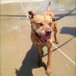 Pit Bull - Gingersnap
