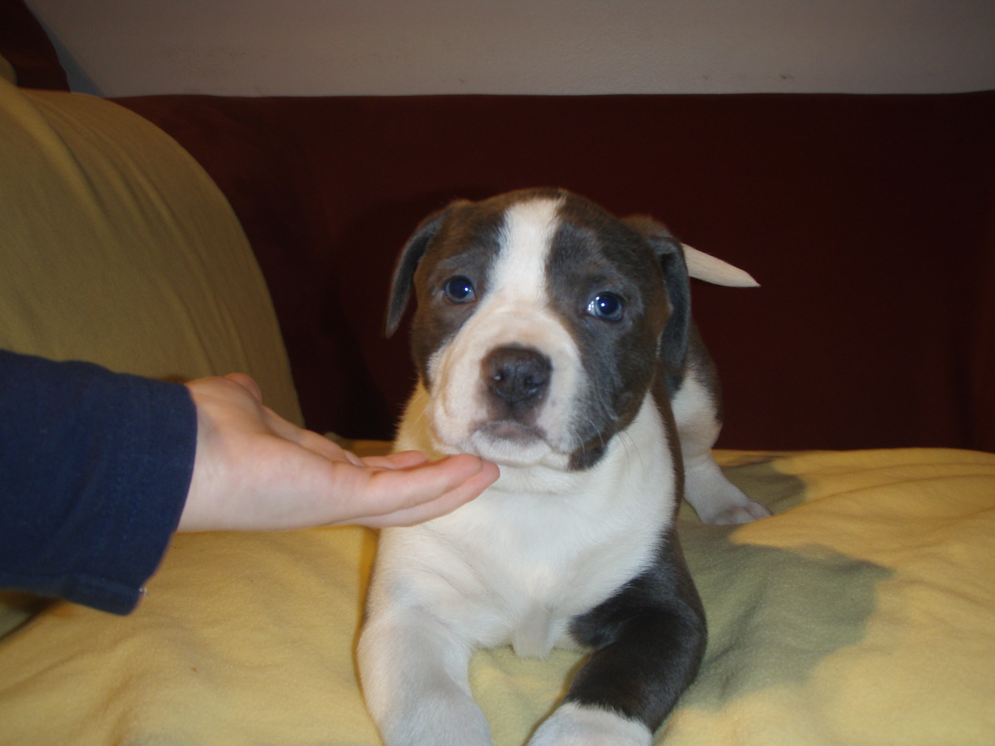 Pit Bull Mix Franklin Mid America Bully Breed Rescue