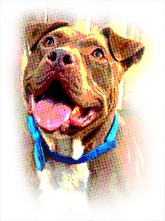 american pit bull terrier info