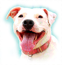 pit bull breed information
